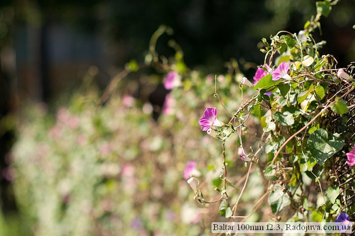 Photo at Baltar 100mm f2.3. Flowers on a wooden fence