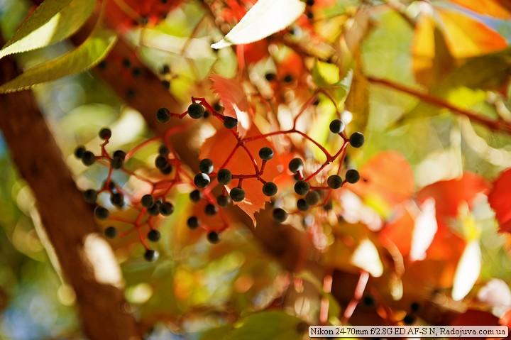 Любимый дикий осенний виногдар