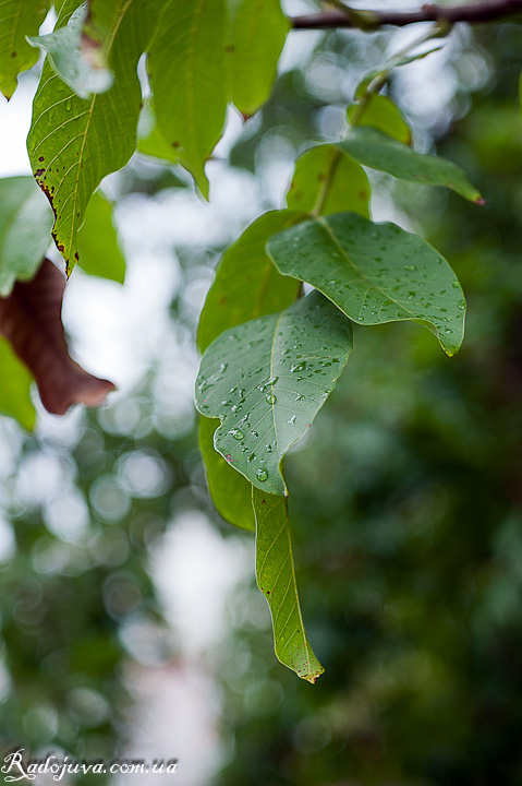 Листья. Хорошо просматривается боке