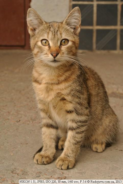 Кот на Nikon 1 J1
